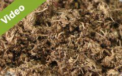 Blond Peat Moss