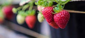 Producción de la fresa