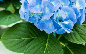 Hydrangée bleu