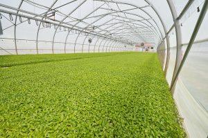 semis de piment en serre